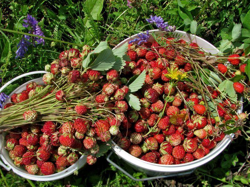 Собранные ягоды - лесная клубника