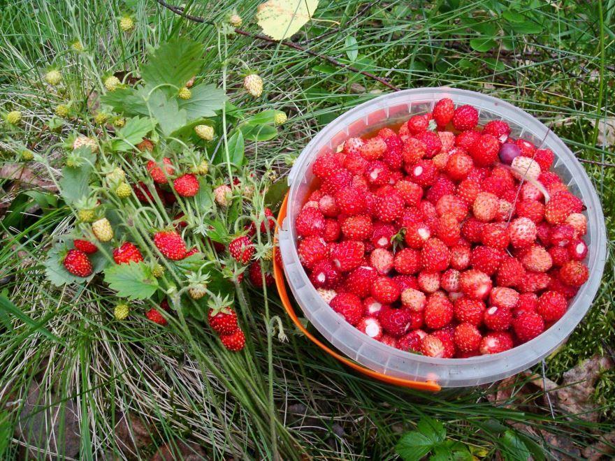 Собираем ягоды в лесу