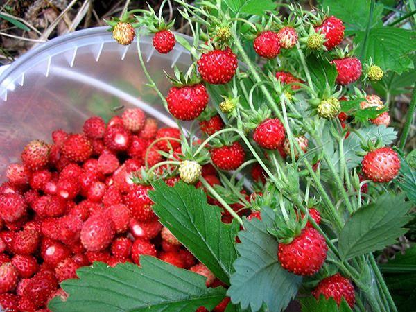 Какую ягоду собирают в лесу - землянику