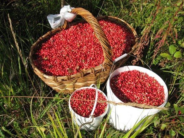 Собирать красную ягоду