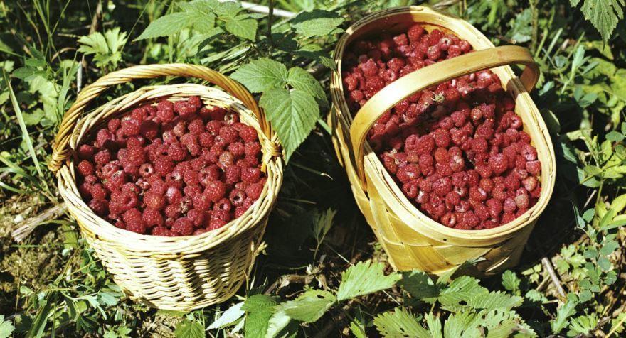 Какие ягоды собирать в лесу - малину