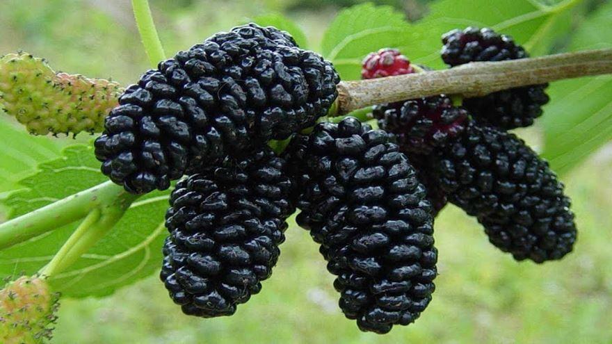 Названия черных ягод - бутовник