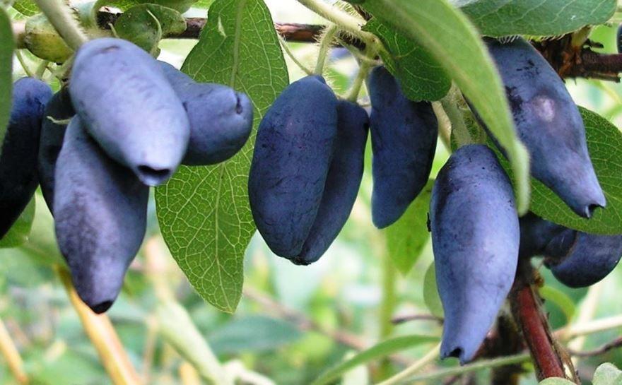 Крупные черные ягоды жимолость