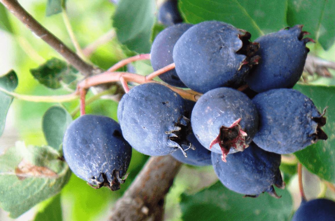 Черная съедобная ягода - ирга