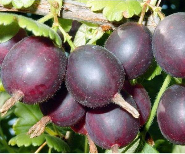 Черные ягоды крыжовника