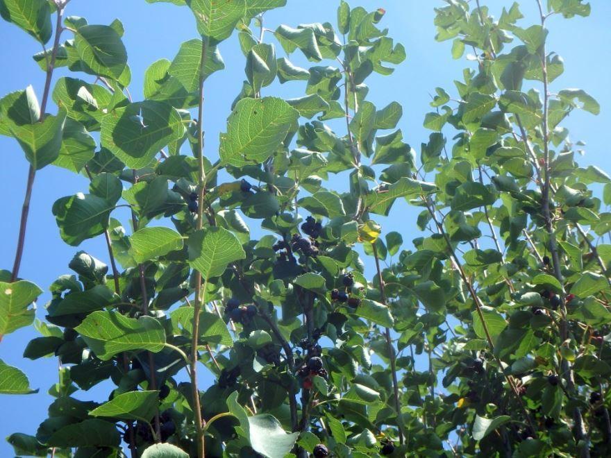 Как выглядит - ирга ягода фото дерева