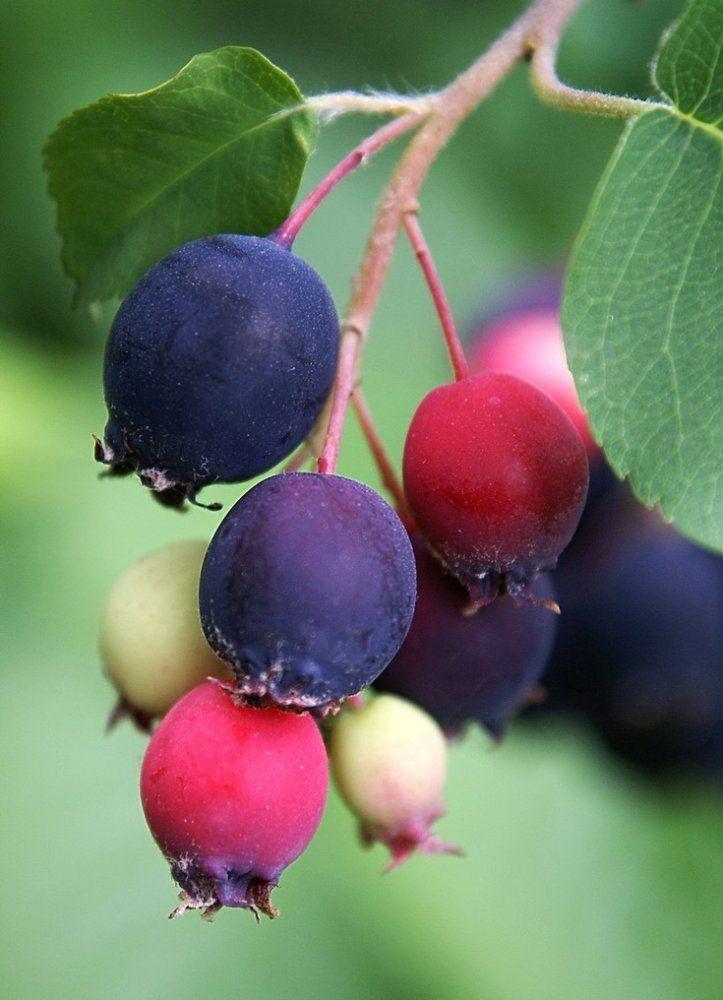 Ирга ягода фото