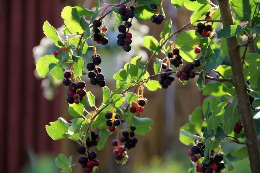 Ирга ягода, дерево
