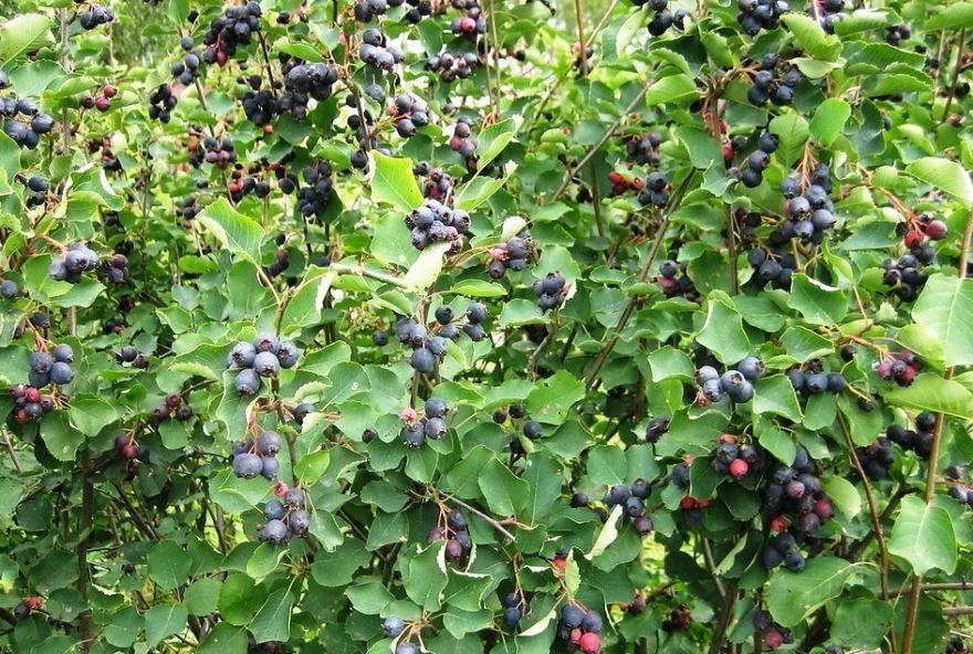 Ирга ягода - фото дерева