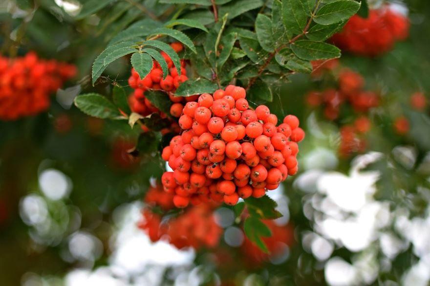 Дикая ягода - рябина