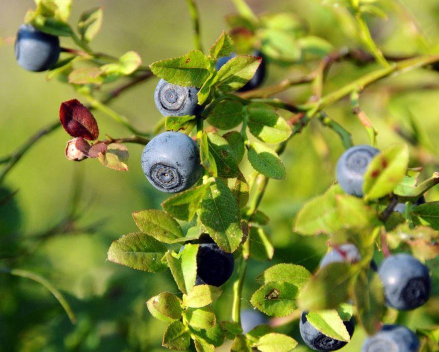 Фото черники - дикой ягоды