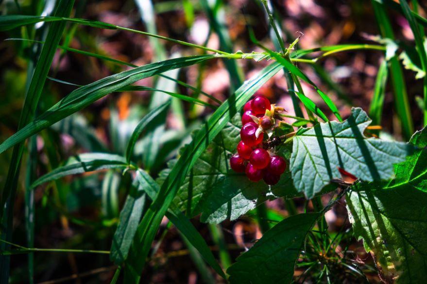 Лесные ягоды костяника