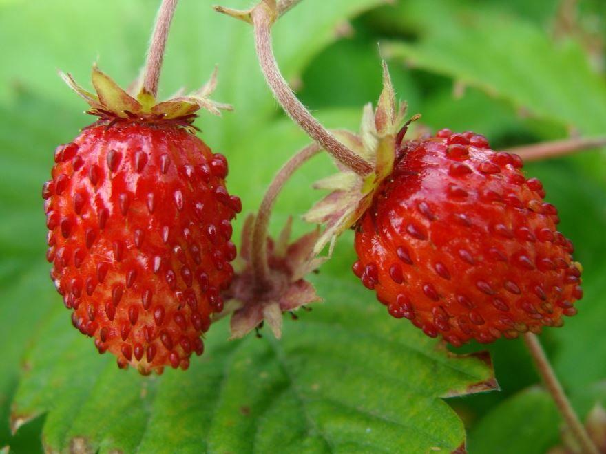 Лесная ягода - земляника