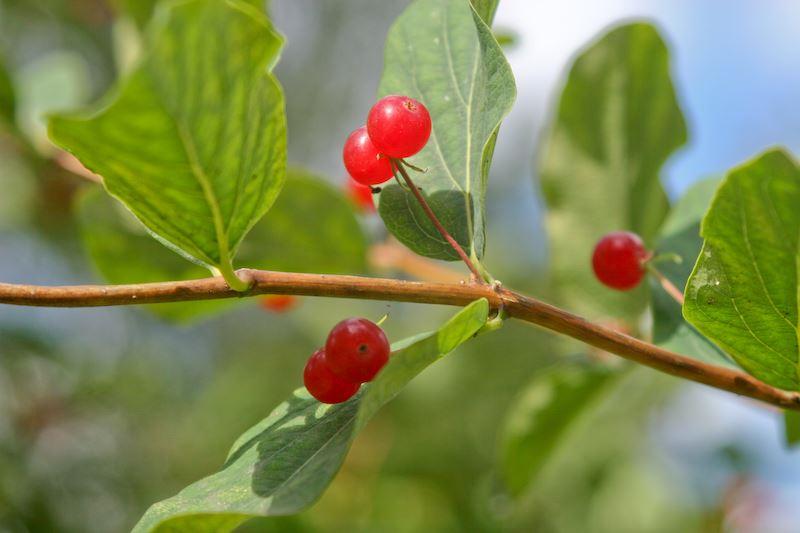Ягода Волчье Лыко - это второе название ягод