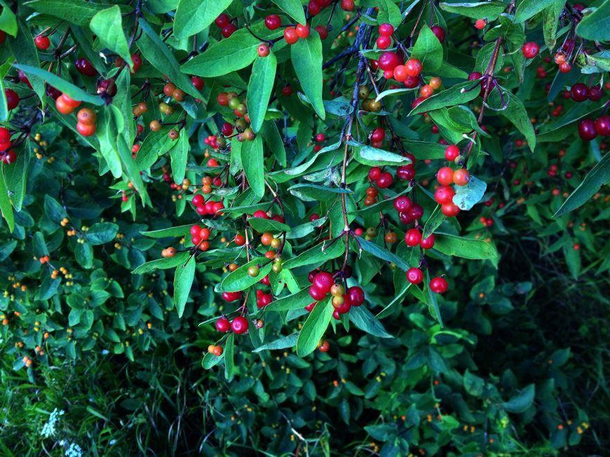 Волчья ягода кустарник фото