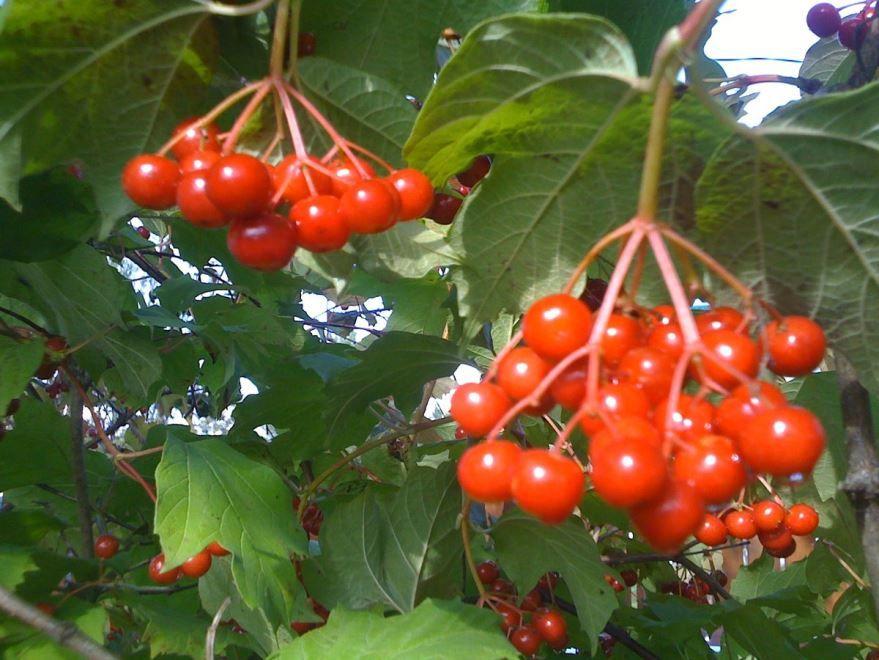 Калина фото ягод