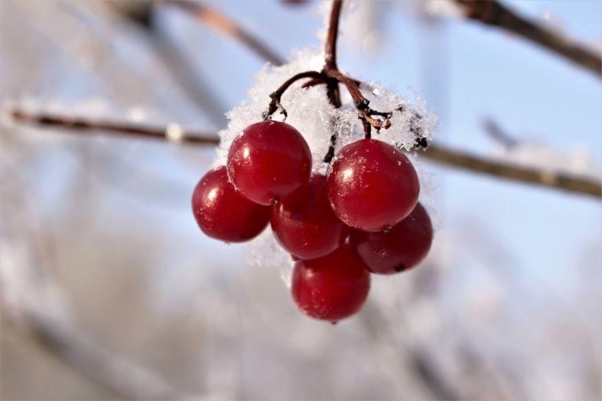 Зимнее фото ягоды калина