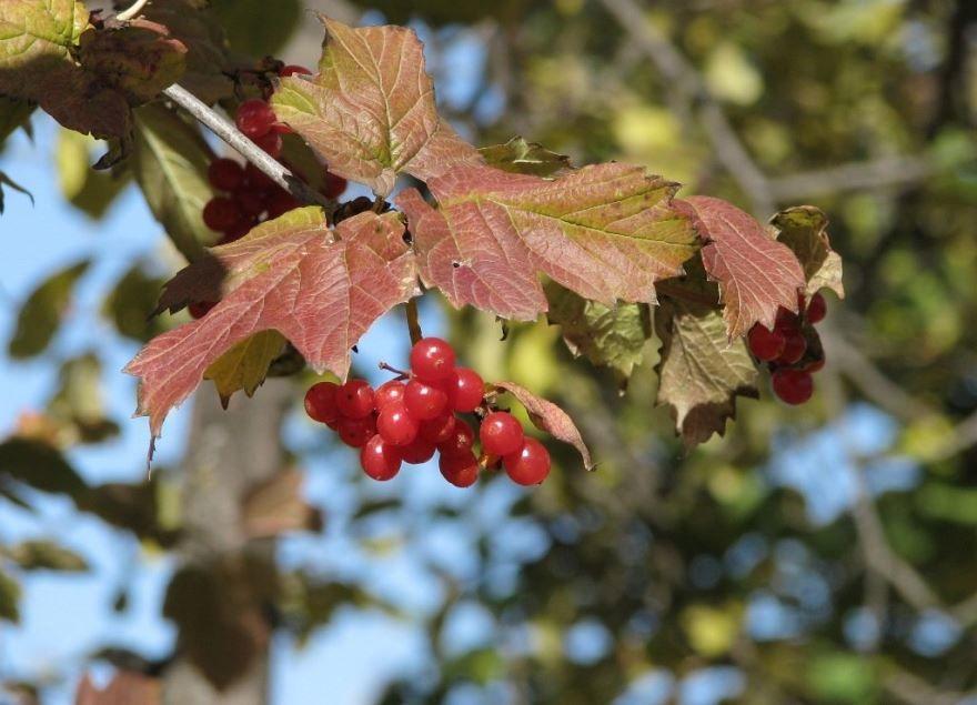 Калина красная ягода