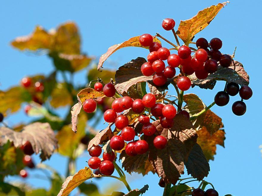 Фото ягод калины бесплатно