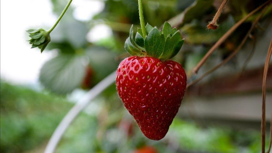Крупные, сочные плоды клубники