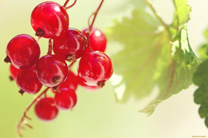 Красные ягоды смородина