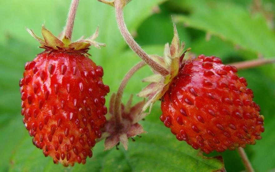 Лесные ягоды фото - земляника