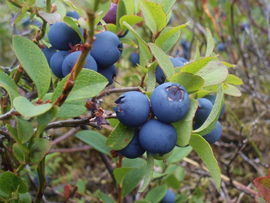 Голубика фото ягода
