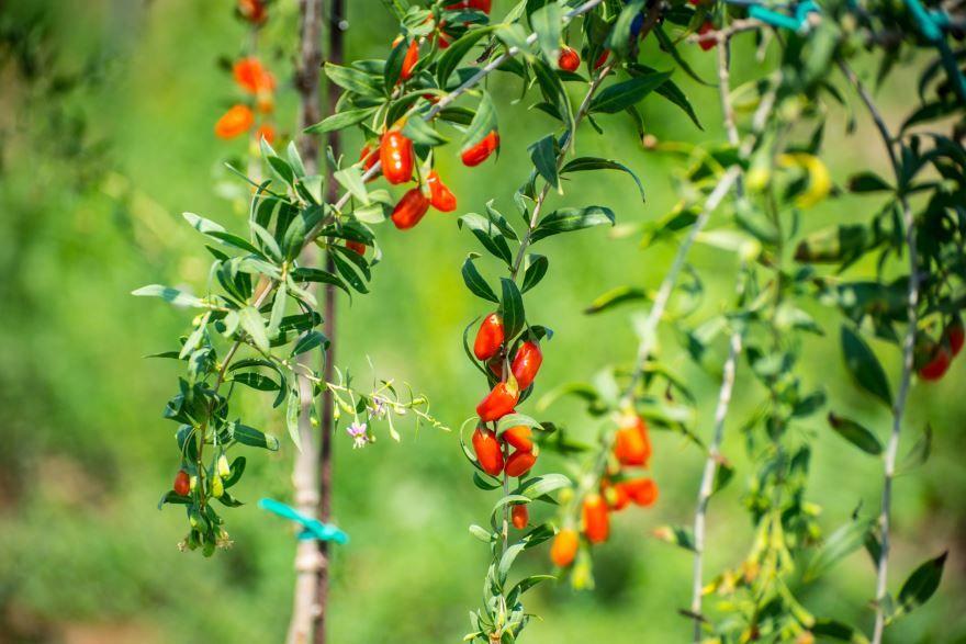 Кустарник ягоды годжи