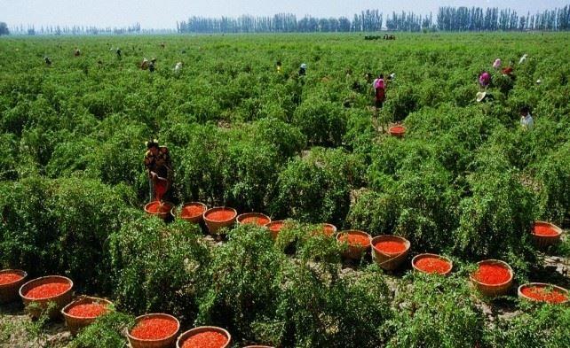 Сбор урожая ягоды годжи