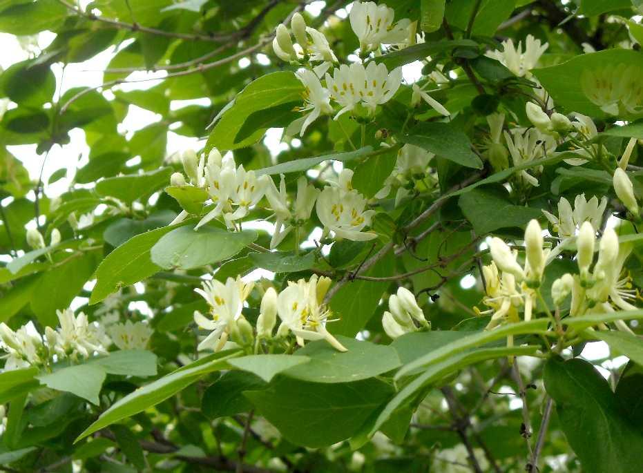 Жимолость весной обильно цветет