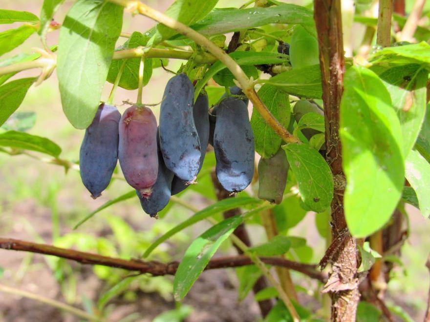 Сорт Камчадалка ягоды жимолость