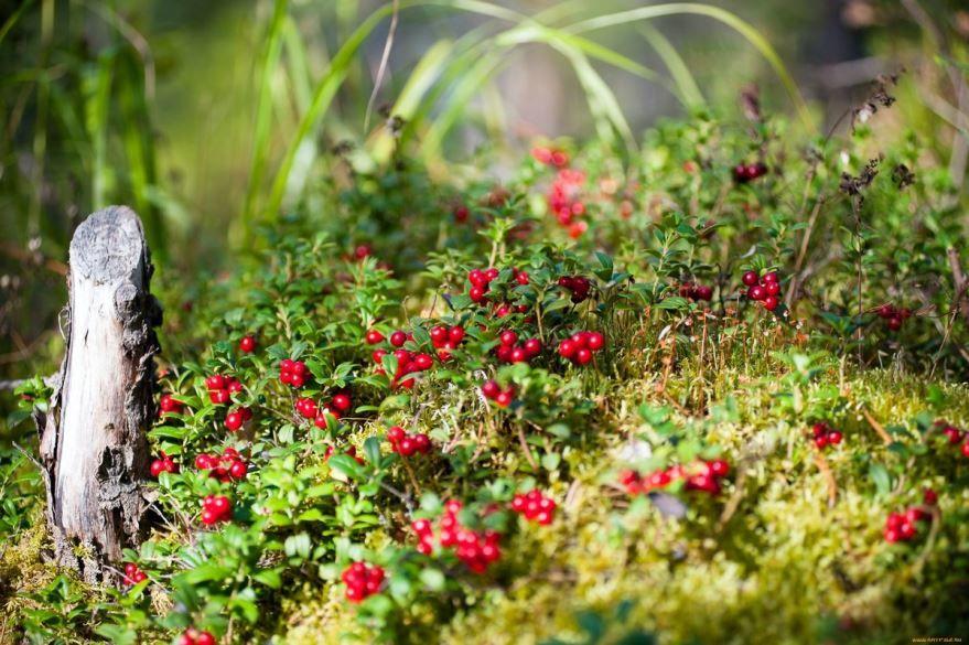 Лесные ягоды - брусника