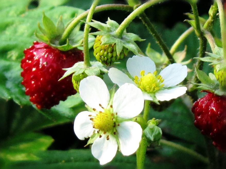 Цветы лесных ягод - название земляника