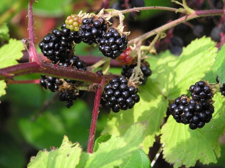 Лесные ягоды названия - ежевика