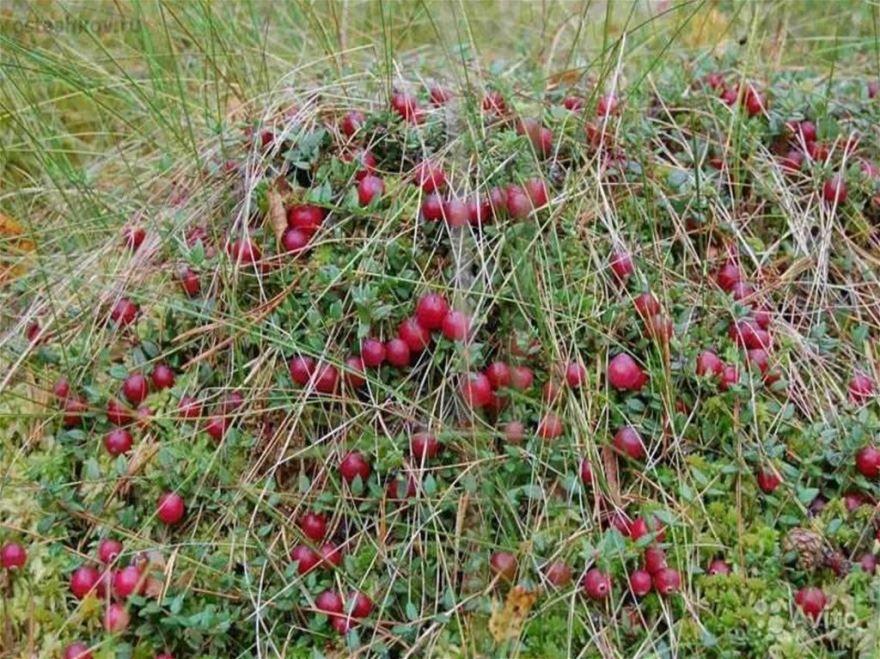 Лесная ягода в лесу - клюква