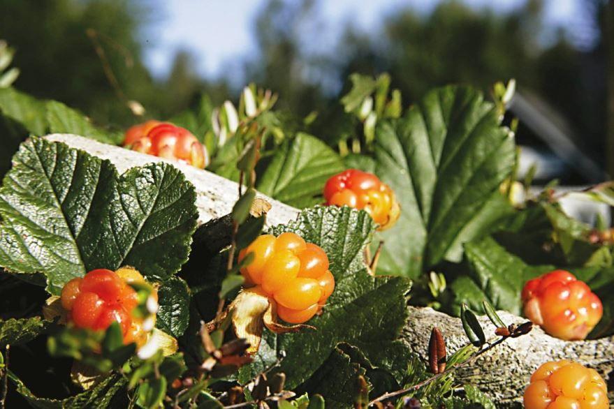 Лесные ягоды фото - морошка