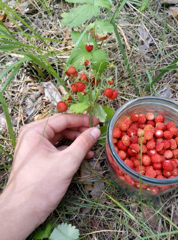 Сбор лесных ягод - земляника