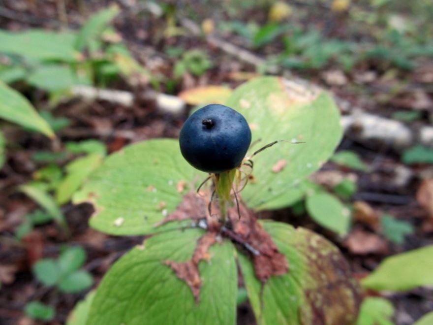 Ядовитые лесные ягоды - Вороний глаз