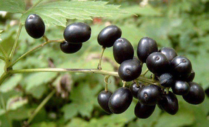 Ядовитые лесные ягоды -Воронец колосистый