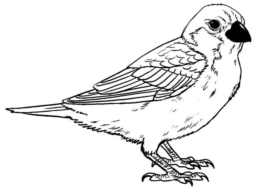 Раскраска птицы - Воробей