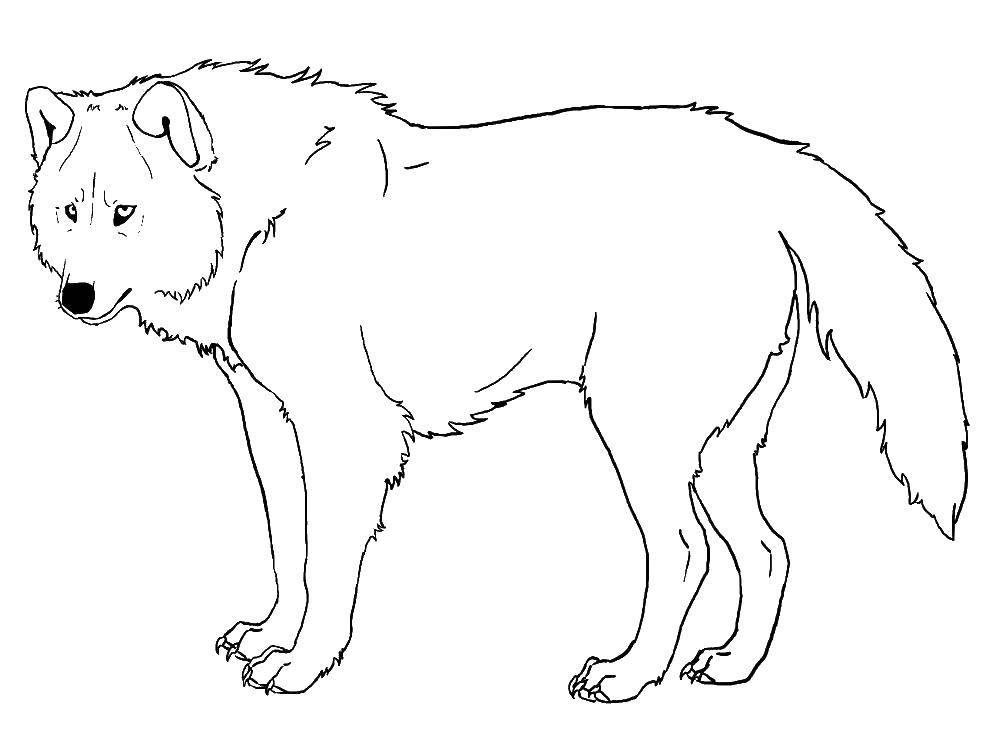 Раскраска волк, распечатать