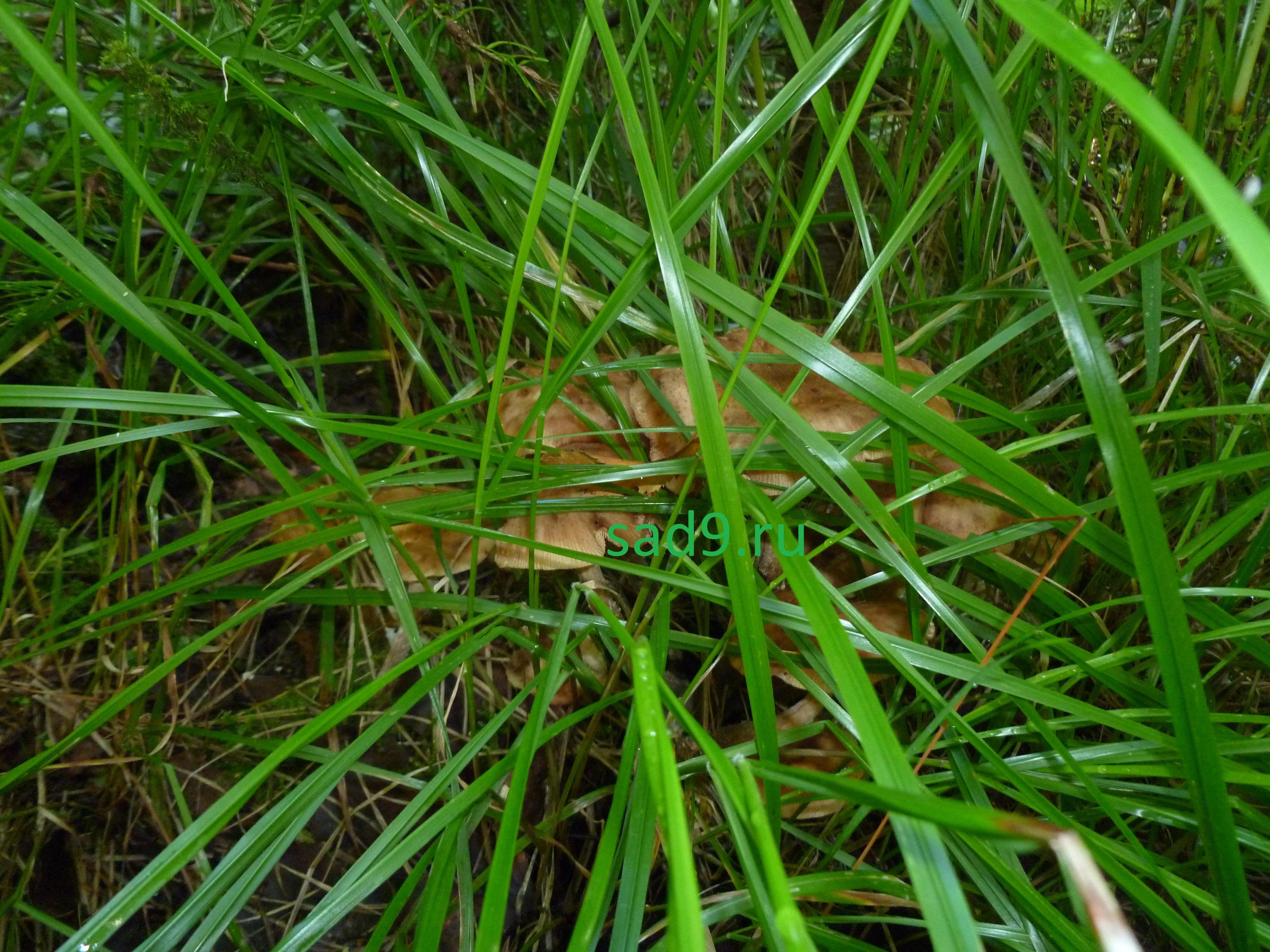 Съедобные грибы опята растут на деревьях и в траве