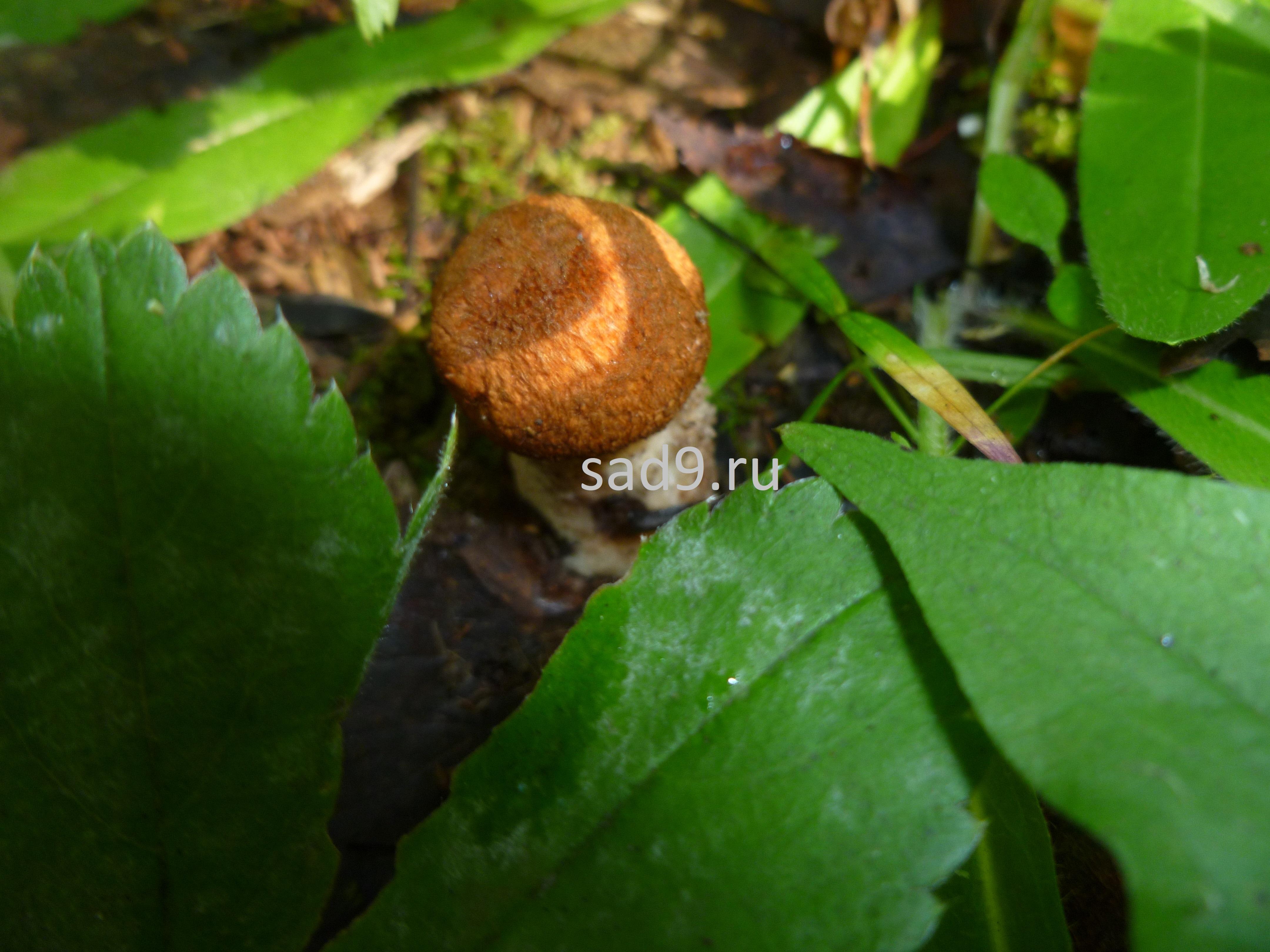 Фото красноголовиков в лесу