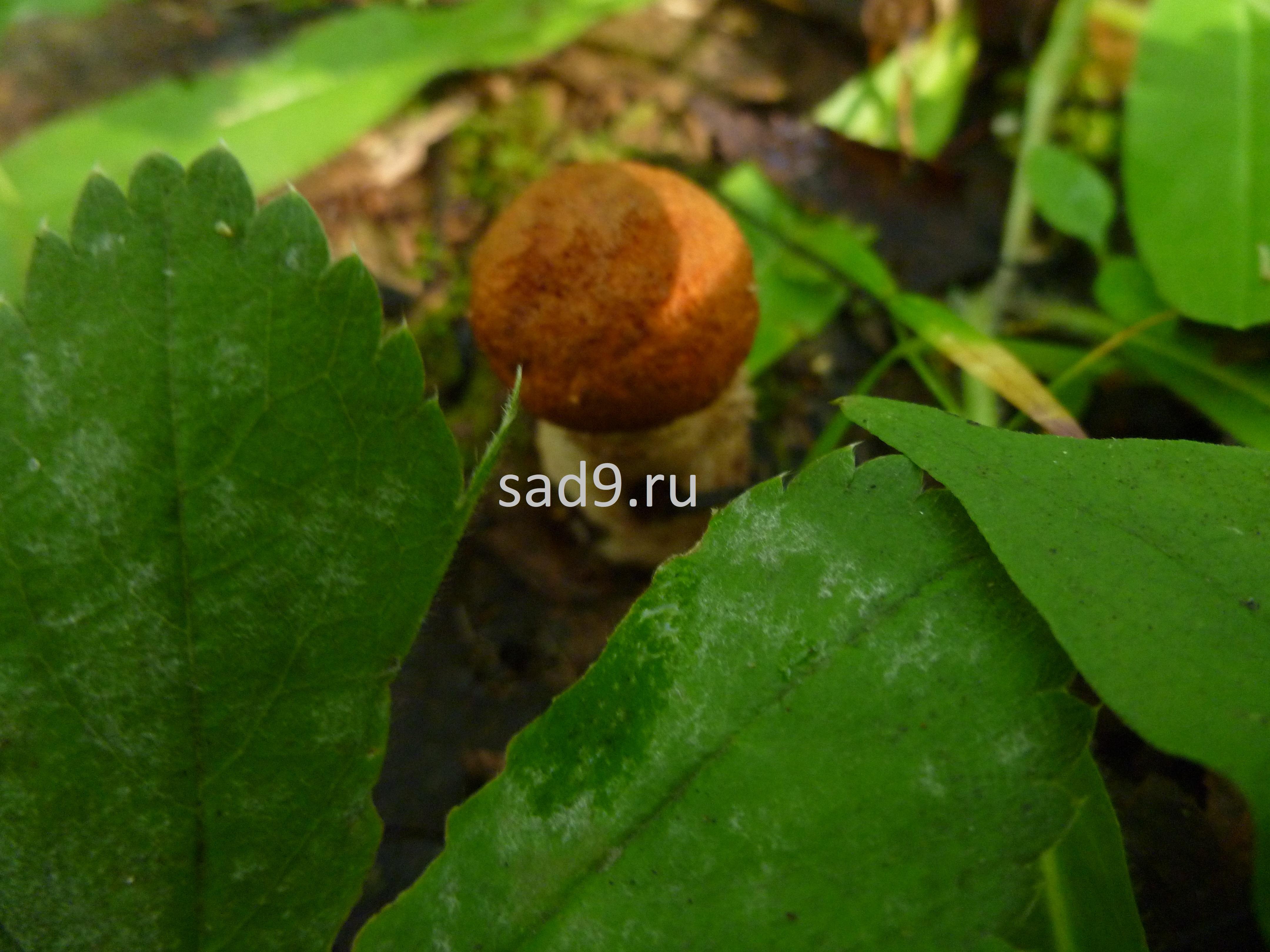Съедобные грибы красноголовики, картинки для детей