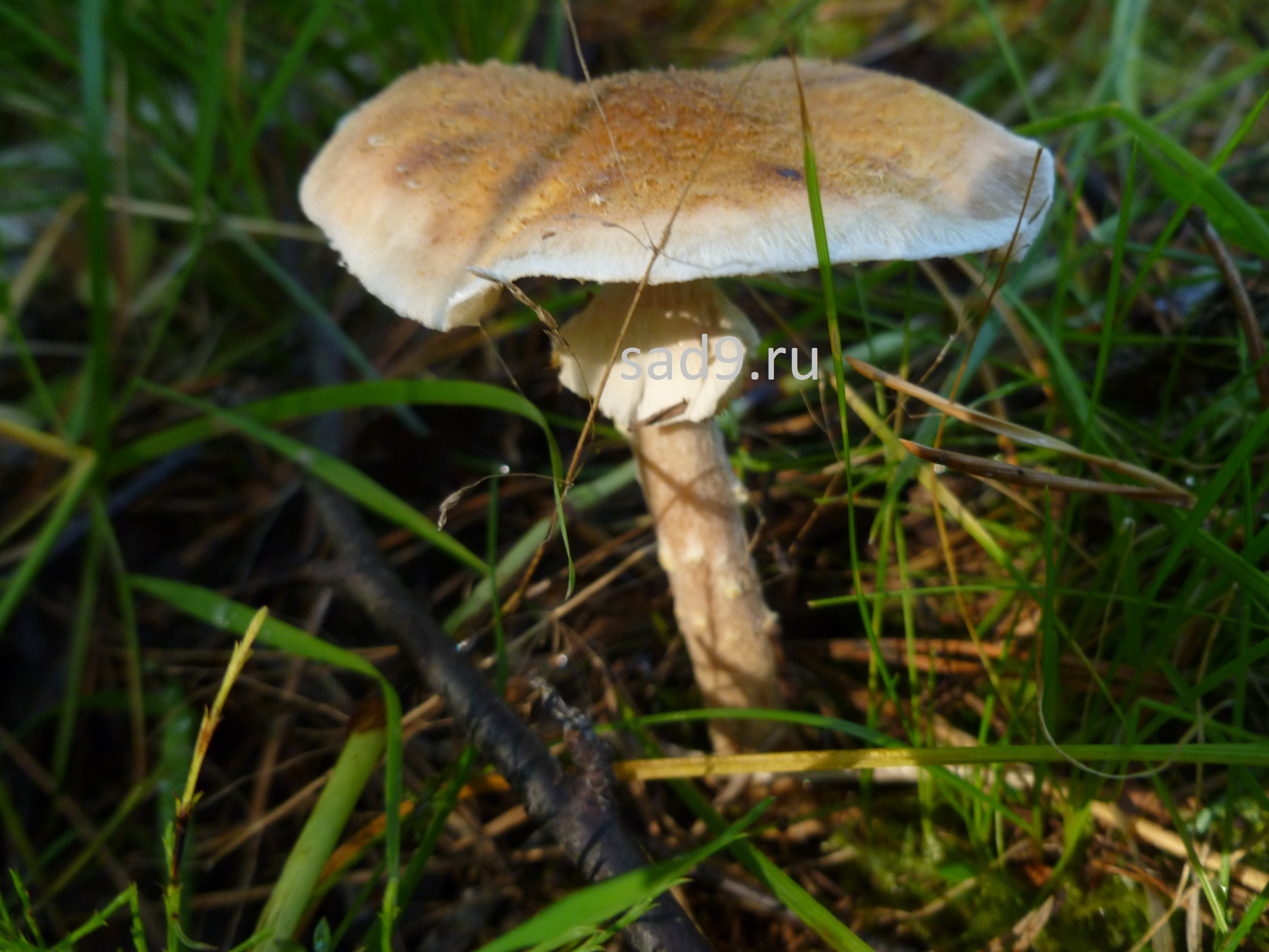 Картинки съедобных грибов для детей - опенок