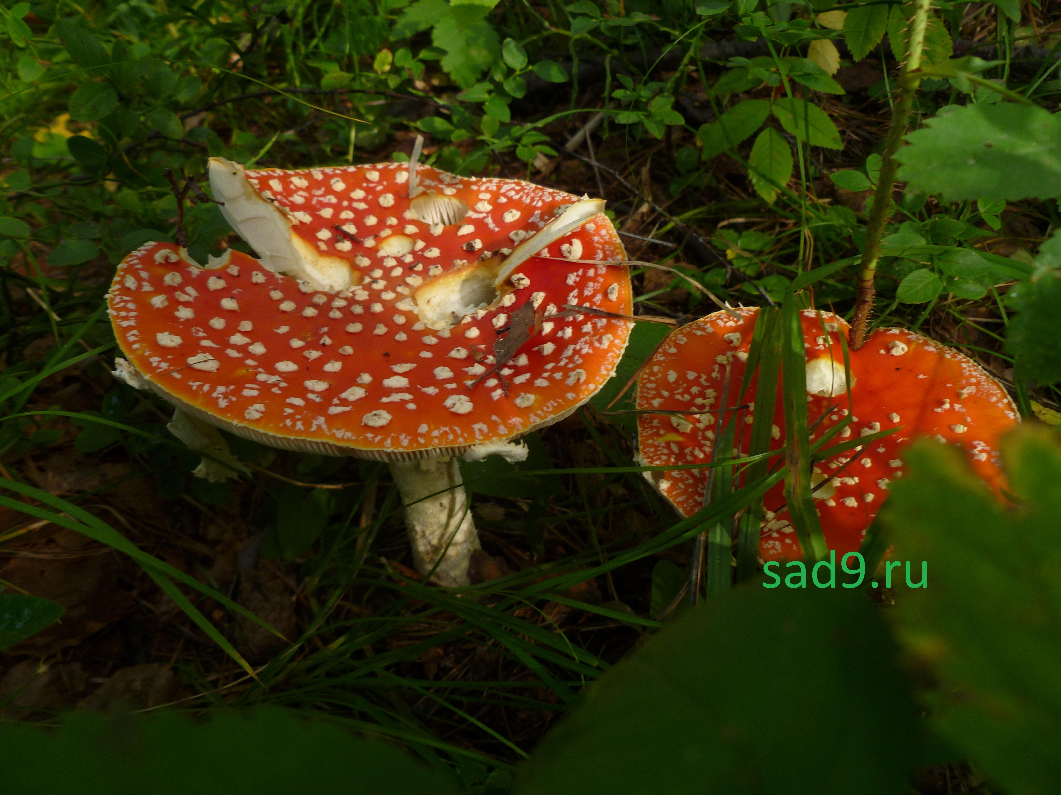 Несъедобные грибы картинки - мухомор