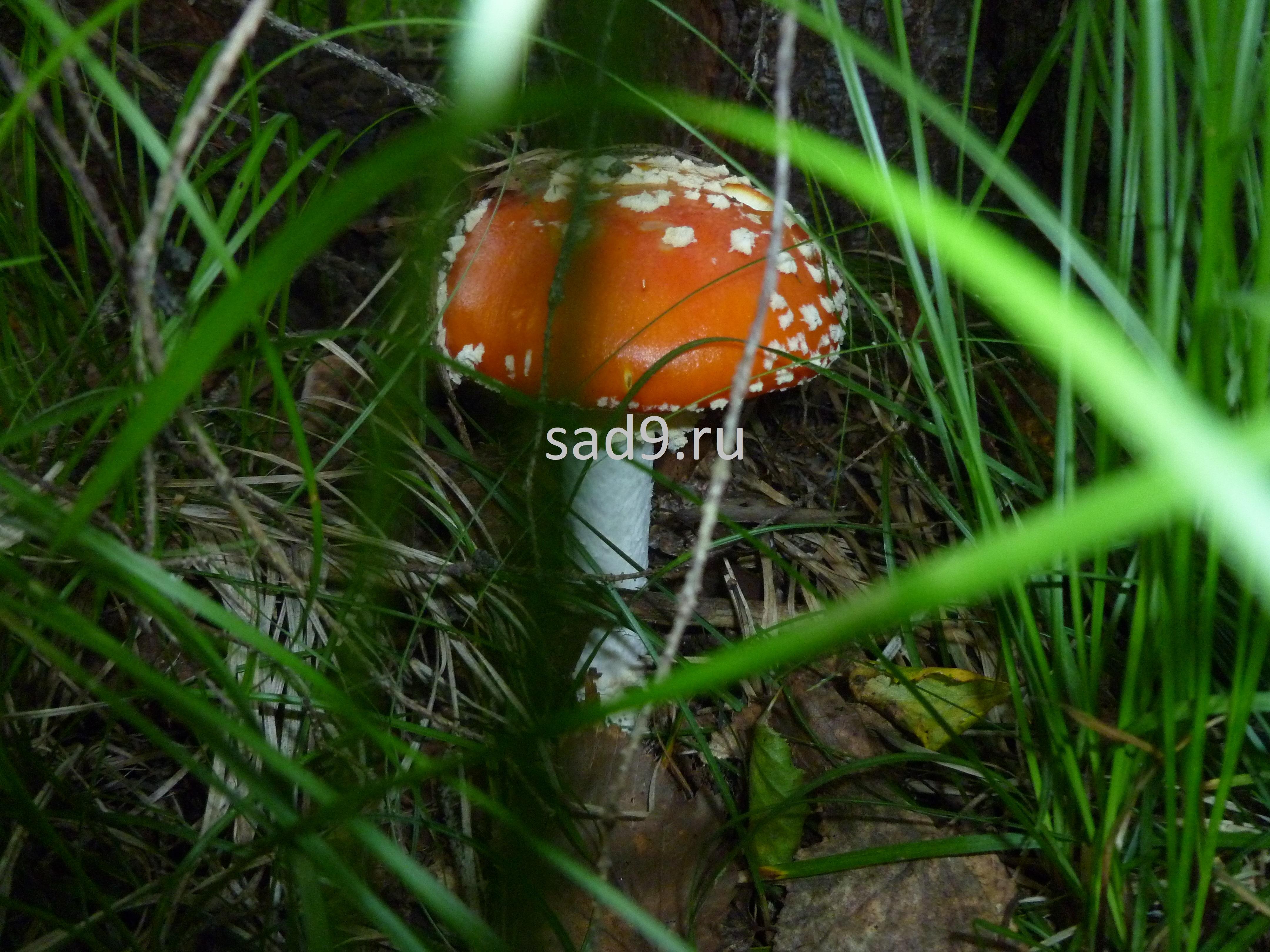 Картинка ядовитого гриба - мухомора