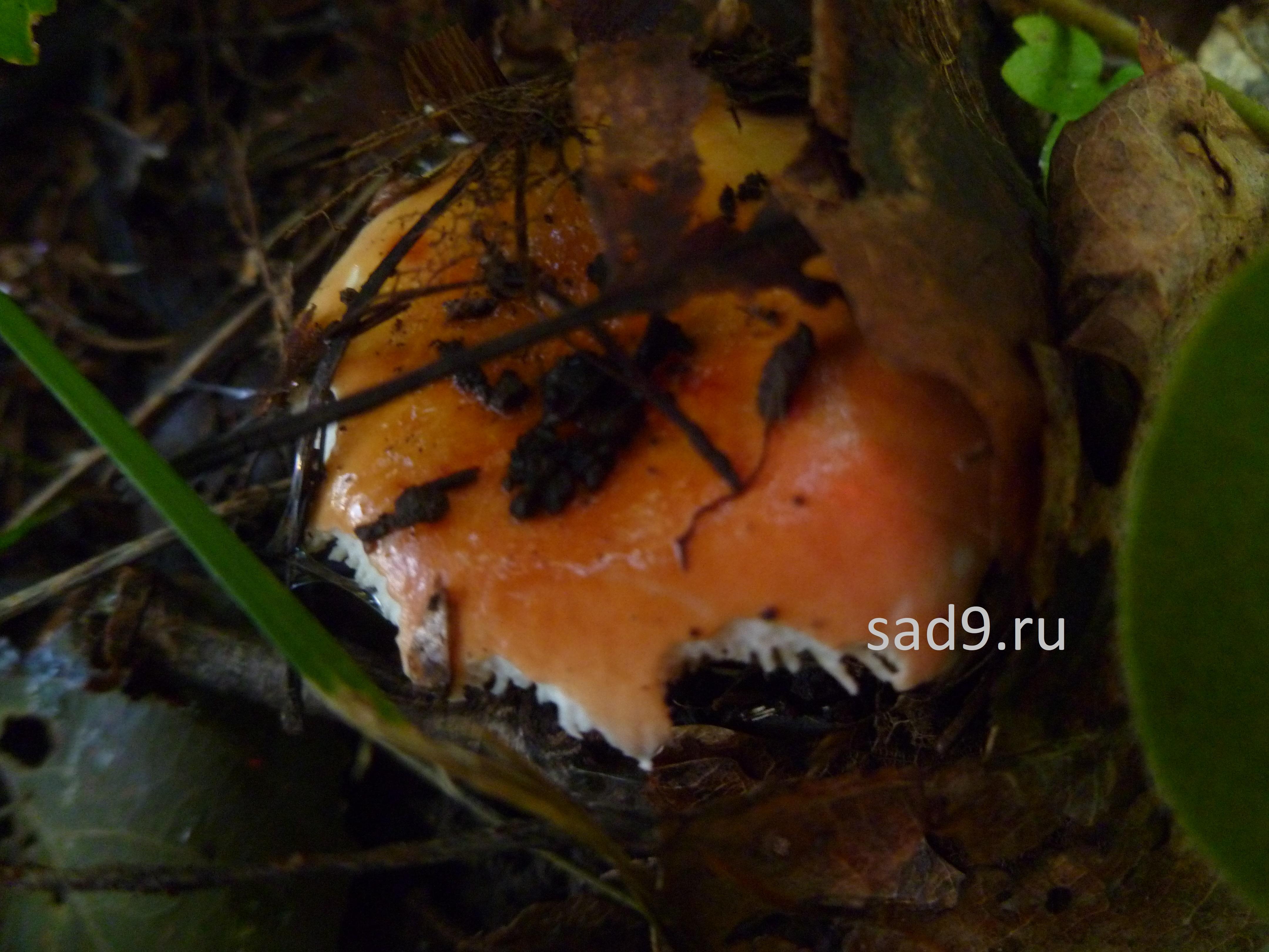 Картинки грибов съедобных - синявка или сыроежка