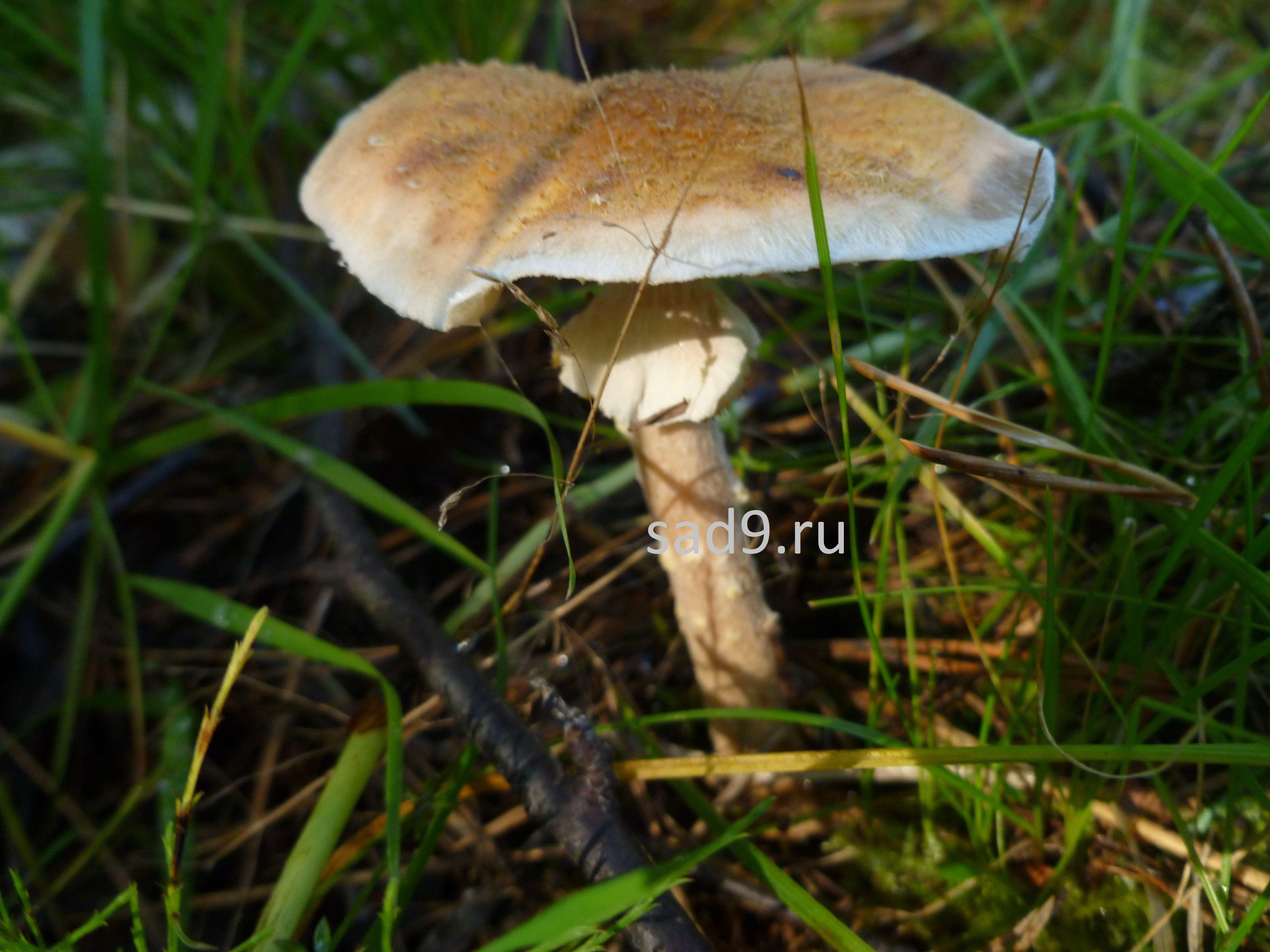 Какие съедобные грибы - опята