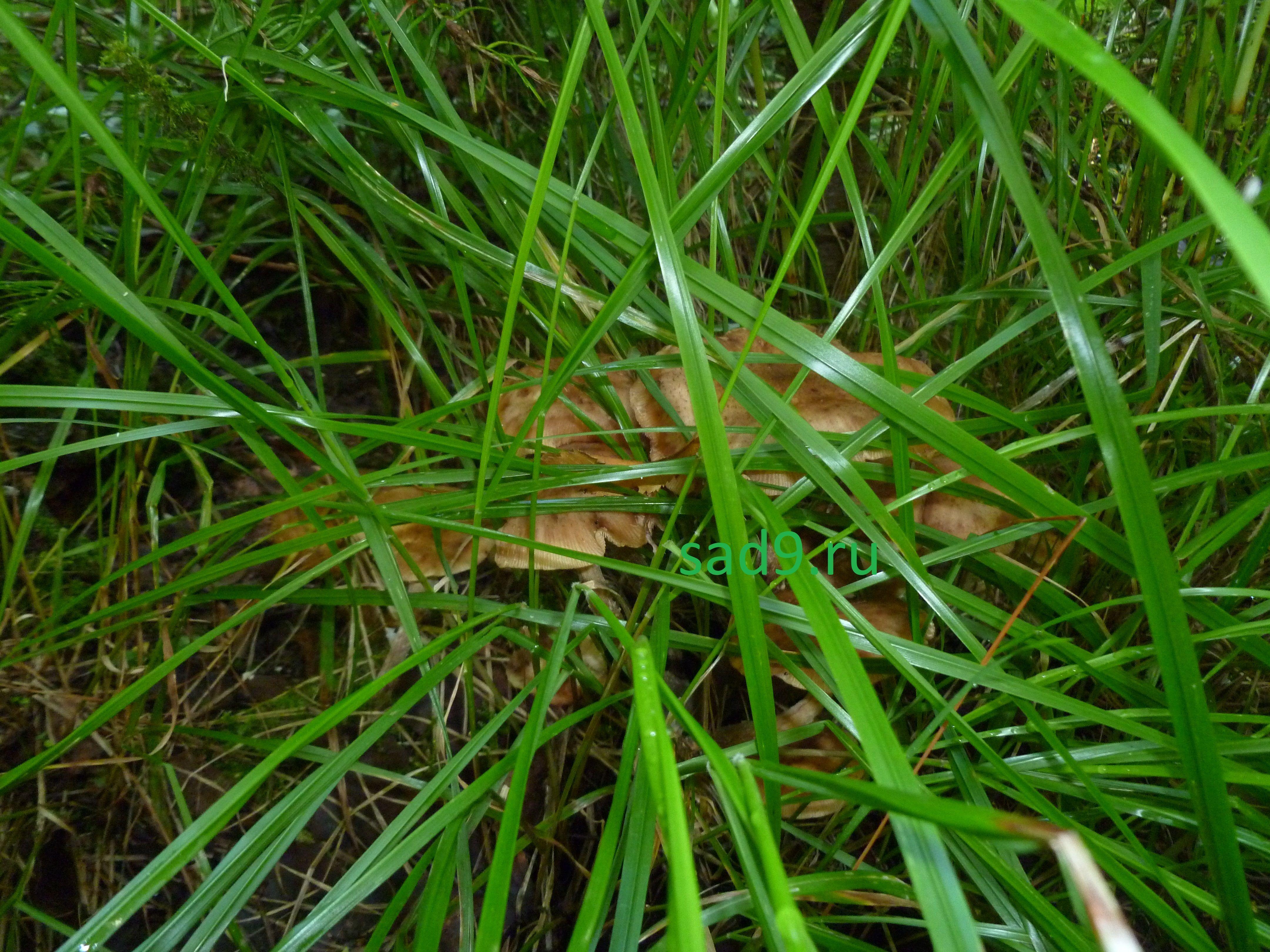 Съедобные грибы красивые фото - опята
